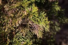 Large Coniferous Thuja Disease...