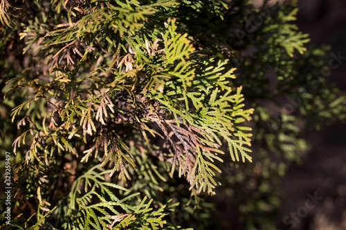 Obraz Large coniferous thuja disease. Withered branches. Plant treatment. - fototapety do salonu