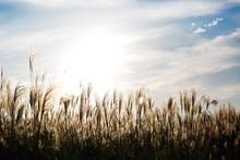Flamegrass Silvergrass Reed Blue Sky Landscape Nature