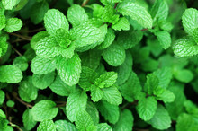 Close Up Of Green Mint Plant G...