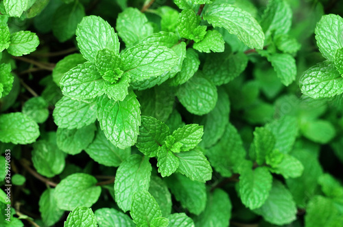 Obraz Close up of green mint plant growing in the vegetable garden. - fototapety do salonu
