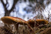 Caesar Mushroom Growing ( Aman...