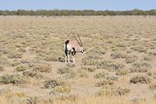 Oryx (Gemsbok) At Etosha National Park, Namibia