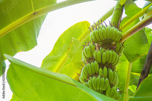 Bunch of green bananas with leaves on banana tree in the garden.