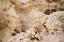Rock Hyrax (Procavia Capensis)...