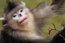 Yunnan Snub-nosed Monkey Eatin...