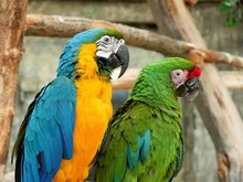 Two Macaw Parrots Are Sitting ...