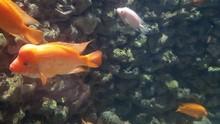 Red Devil Cichlid Fish (Amphilophus Labiatus) Close Up Shoot