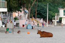 Wild Cattle China