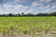 Feld mit jungen Maispflanzen  (Zea mays) in Ostfriesland, Deutschland