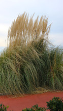 Dried Grass With Panicle Bunch...