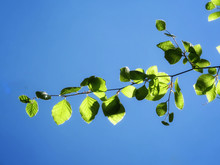 Green Branch Of A Beech In Fro...