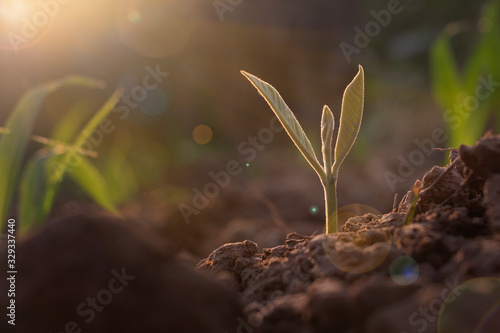 Fototapeta Growing plant,Young plant in the morning light on ground background, New life concept.Small plants on the ground in spring.fresh,seed,Photo fresh and Agriculture  concept idea. obraz na płótnie