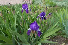 Three Purple Flowers And Buds Of Bearded Iris In May