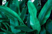 Tropical Banana Leaf, Abstract...