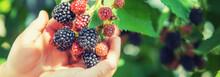 The Child Holds Blackberries I...
