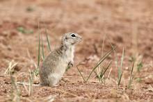 Pallid Ground Squirrel