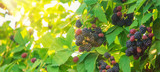 Blackberry berries on the bushes in the garden. Selective focus.