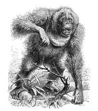 Wild Orangutan / Antique Illus...