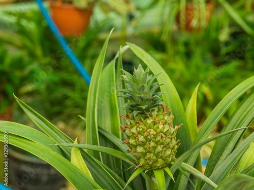 Photo plant bromelia pineapple Ananus comosus Champaca
