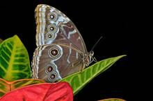 Common Blue Morpho Butterfly, (Morpho Peleides), Perched On Lea