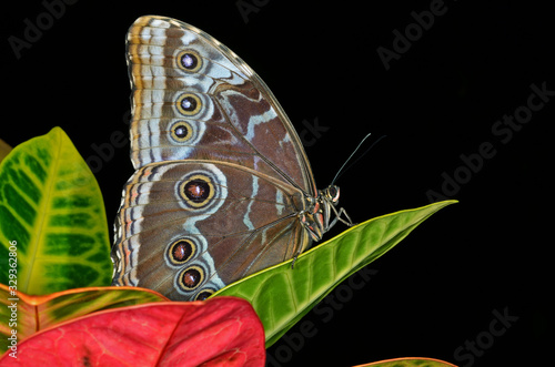 Common blue Morpho butterfly, (Morpho peleides), perched on lea Canvas-taulu