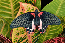 Close-up Of A Scarlet Mormon B...