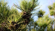 Little Pine Cone On A Tree. Mo...