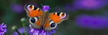 Tagpfauenauge (Aglais Io) Schmetterling Sitzt Auf Blauer Blüte, Panorama