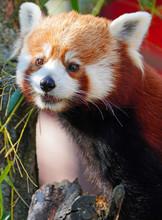 View Of A Red Panda (ailurus)