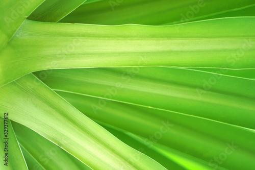 Dracaena cochinchinensis, green leaves pattern. #329377612
