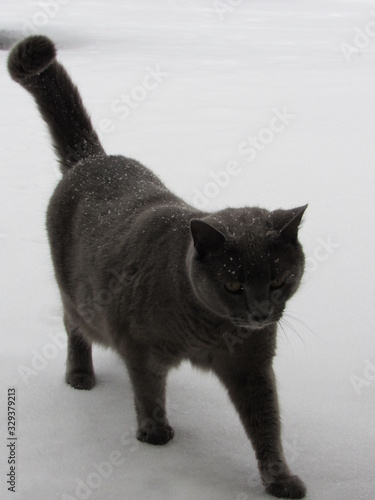 Russian blue cat walking through the snow