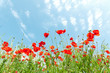 canvas print picture - Red poppy flowers on sunny blue sky, poppies spring blossom, green meadow with flowers