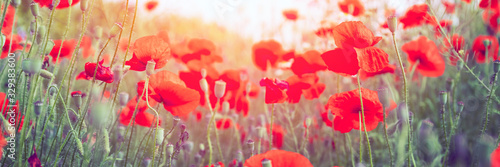 Sunny meadow with red poppy flowers - 329383600