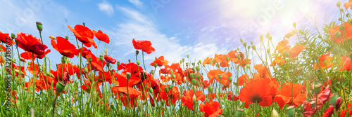 Red poppy flowers on sunny blue sky, poppies spring blossom, green meadow with flowers - 329383677