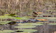 Partially Submerged Alligator,...