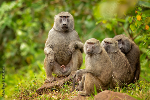 Fényképezés Olive baboon (Papio anubis), also called the Anubis baboon, is a member of the family Cercopithecidae (Old World monkeys)