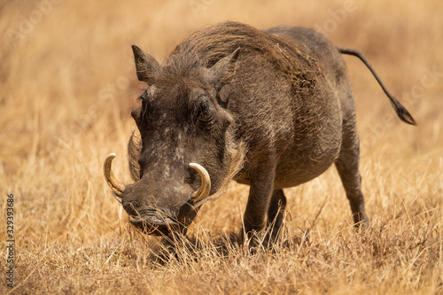 Photo Common warthog (Phacochoerus africanus) is a wild member of the pig family (Suidae) found in grassland, savanna, and woodland in sub-Saharan Africa