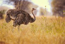 Common Ostrich (Struthio Camel...