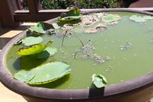 Lotus Leaves In A Large Cerami...