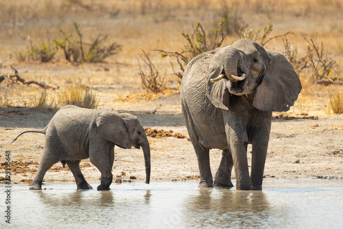 African bush elephant (Loxodonta africana), also known as the African savanna el Wallpaper Mural