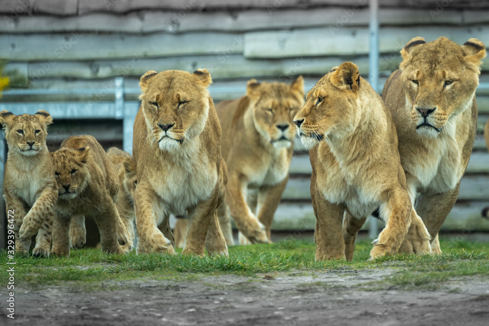 Fototapeta lion and lioness running with pack