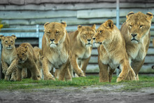 Lion And Lioness Running With ...