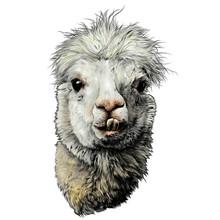 Head Of A Funny Cute Alpaca Or...