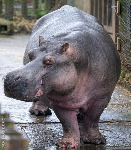 hippo on ramp leading to water Tableau sur Toile