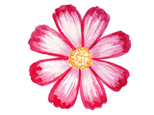 Pink Chrysanthemum. Colored Ha...