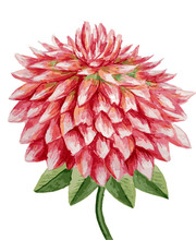 Watercolor Dahlia Hand Drawing...