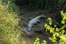 Big Marsh Crocodiles Near The ...