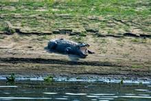 Big Marsh Crocodiles Closeup Near The Water
