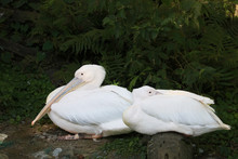 Large White Pelicans Resting
